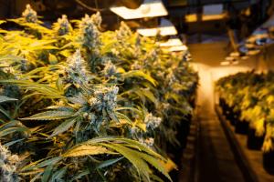 Led Cannabis Lighting